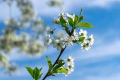 Image de pommier de floraison Photo libre de droits