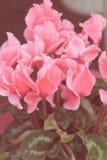 Image de regard de vintage d'usine de floraison de cyclamen Image stock