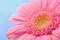 Fleur de gerbera de cinglement Photographie stock