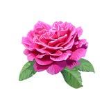 Image de rose de rose d'isolement sur le fond blanc Photographie stock libre de droits