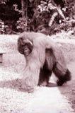 Image de sépia du Bornéo d'orang-outan Photo libre de droits