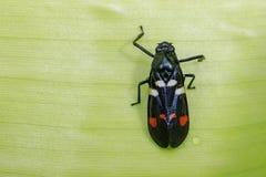 Image de scarabée noir sur les feuilles vertes insecte Animal Photos stock