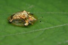 Image de scarabée ou d'escarabajo tortuga de oro de tortue d'or Images stock