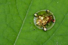 Image de scarabée ou d'escarabajo tortuga de oro de tortue d'or Images libres de droits