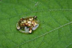 Image de scarabée ou d'escarabajo tortuga de oro de tortue d'or Image stock
