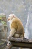 Image de singes rhésus bruns Image stock