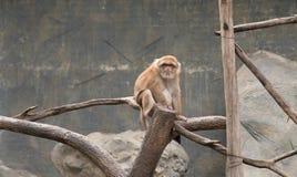 Image de singes rhésus bruns sur le fond de nature Photographie stock libre de droits