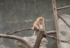 Image de singes rhésus bruns sur le fond de nature Photos stock