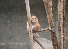 Image de singes rhésus bruns sur le fond de nature Photos libres de droits