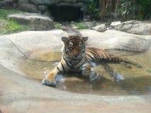 Image de tigre détendant dans l'eau photographie stock libre de droits