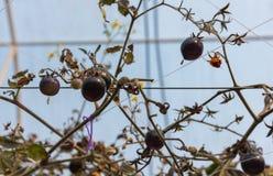 image de tomate dans le jardin photo libre de droits