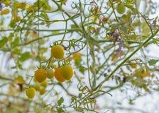 image de tomate dans le jardin photographie stock