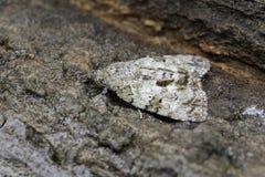 Image de tripartita de Nannoarctia de mite de Brown sur l'arbre insecte images stock