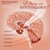 Image de vecteur d'hypothalamus Photographie stock
