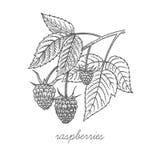 Image de vecteur des plantes médicinales illustration libre de droits