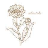 Image de vecteur des plantes médicinales Calendula Images stock