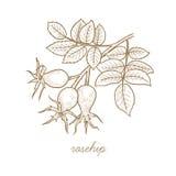Image de vecteur des plantes médicinales Cynorrhodon Images stock