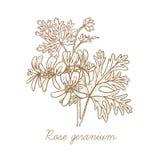 Image de vecteur des plantes médicinales Géranium de Rose Photographie stock libre de droits