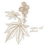 Image de vecteur des plantes médicinales Ricin Photographie stock libre de droits