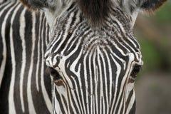 Image de visage de zèbre. Images libres de droits