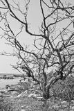 An image of a dead tree. Near the sea Stock Image