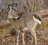 Image with a deer claening the fur Stock Photo