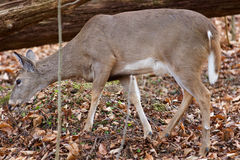 Image with a deer eating the leaves in the forest Royalty Free Stock Photos