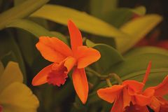 BRIGHT ORANGE ORCHID IN A HOTHOUSE stock photos