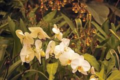 WHITE ORCHIDS ON A STEM IN A HOTHOUSE. Image of a delicate white orchid with other tropical plants in a hothouse stock photos