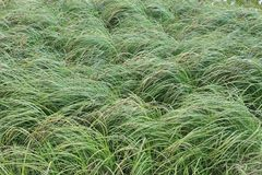 Image of a dense green grass with brown heads on a field bent under the gusts of the wind.  Stock Images