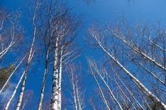 Image des arbres sans feuilles avec le ciel bleu en cristal sans nuages photo stock