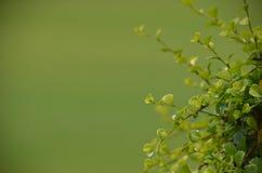 Baisses de pluie sur l'arbuste de feuille Images libres de droits