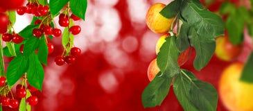 Image des cerises et des pommes dans le plan rapproché de jardin photos libres de droits