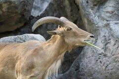 Image des chèvres de montagne se tenant sur une roche Image stock