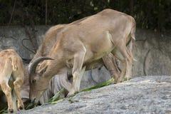 Image des chèvres de montagne se tenant sur une roche et mangeant l'herbe Image stock