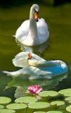 Image des cygnes et du lotus sur un plan rapproché de rivière Photo libre de droits