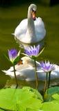 Image des cygnes et du lotus sur un plan rapproché de rivière Image stock