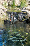 Image des cygnes noirs sur l'eau Images stock