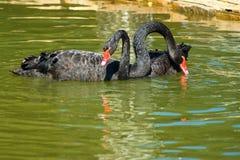 Image des cygnes noirs sur l'eau Image stock