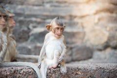 Image des fascicularis d'un macaca de singe de bébé, macaque Long-coupé la queue, Image stock