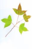 Image des feuilles d'érable Image stock