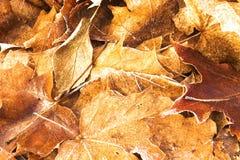 Image des feuilles tombées d'érable Image stock