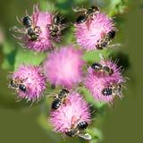 Image des fleurs et des abeilles dans le plan rapproché de jardin Photographie stock