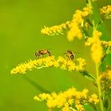 Image des fleurs jaunes dans un plan rapproché de champ Photo libre de droits