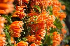 Image des fleurs tropicales oranges brightful Plan rapproché de trompette orange, fleur de flamme, vigne de pétard sur le mur images libres de droits