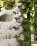 Image des moutons de statue Image stock