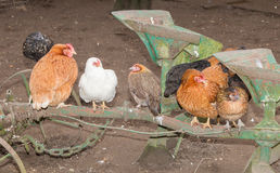 Image of different chickens standing on an agricultural machine Royalty Free Stock Photography