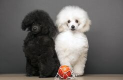 Image of dog basketball table