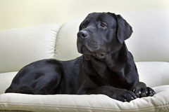 Image dog breed black labrador Royalty Free Stock Photo