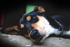 Dobermann dog stock photo